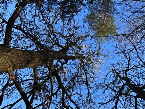 Trädtoppar mot det blå...