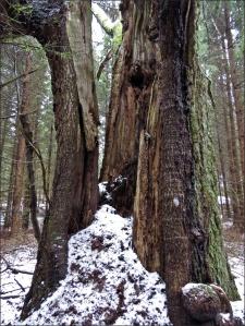 Gammal trädstam