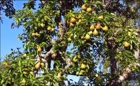 päron...