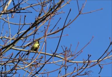 Vårblå himmel och talgoxen bjuder på vårvisslingar...
