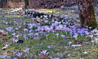 gräsmattan full med vinterkrokus...