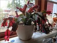 November, Jul eller påsk - min kaktus har svårt att bestämma sig och blommar för säkerhets skull vid alla tre tillfällena...