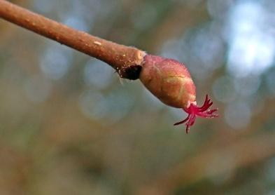 Hasselblomman - en liten blomma ...