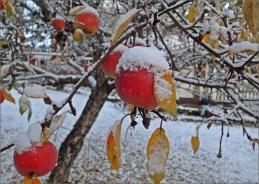 vinteräpplen...