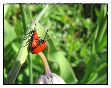 Liljebaggar som gör fler liljebaggar...