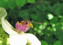 Blomfluga i tremastareblomma...