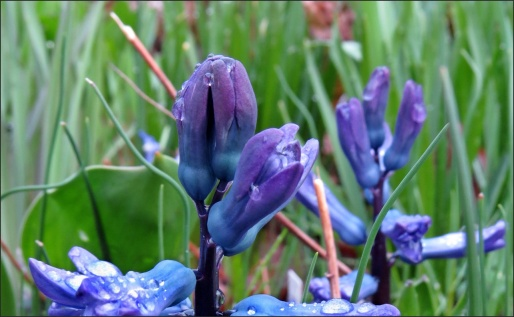blå hyacint...