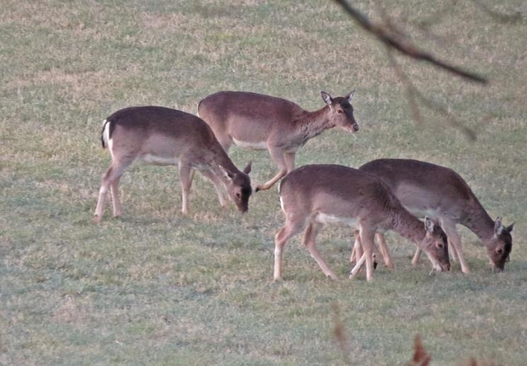 De är runda om magen ... i mitten av juni kommer de att föda nya små hjortkalvar till världen