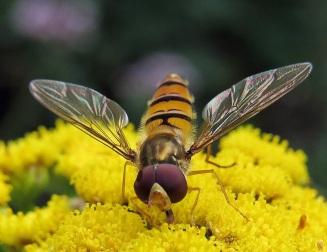 Gul blomma och varningsfärgad blomfluga