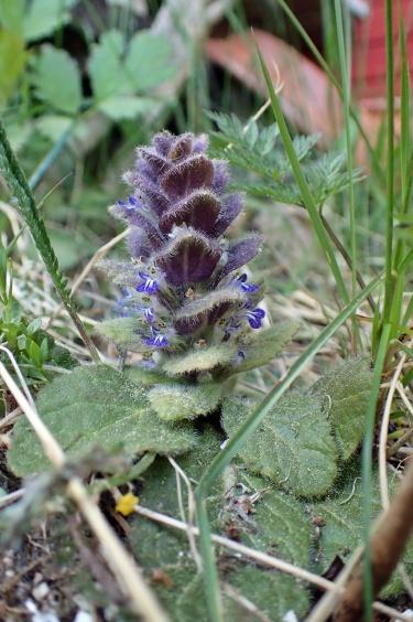 Många små blå blommor har den...