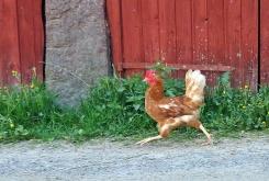 En ensam höna var ute på morgonpromenad - kanske missade hon att gå in i hönshuset kvällen innan - hon fick väldigt bråttom när hon upptäckte mig :)