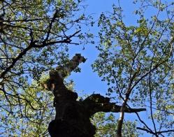 Vänder man blicken uppåt ser den ut som ett forntidsdjur som sträcker sig mot himlen ... och man ser det friska grenverket med nya gröna löv.