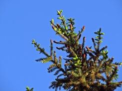 Himlen var alldeles blå och granarna blommar ännu...