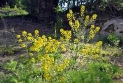 Åkersenap kanske ... är lite osäker på de gula oljeväxterna - spelar inte så stor roll för jag tycker de är lika vackra som rapsen när de blommar