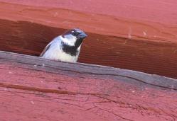 Gråsparvarna bor högst upp under taket på ladugården och det är svårt att vara stadig på handen med full zoom...