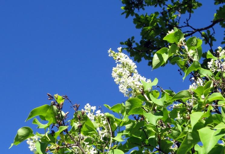 Vita syrener som blommar om våren ... minns ni sången?