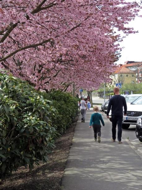 Körsbärsträden blommar även i Motala!