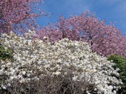 ... och nere i parken tillsammans med vita magnolior.