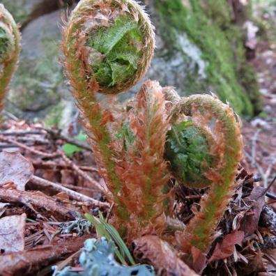 ... och ormbunkarna börjar räta ut sina bladsnurror...