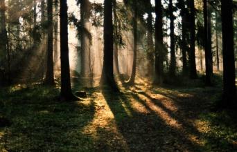 Tidig morgon i skogen
