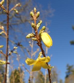 Forsythians gula blommor ersätts snart av gröna blad...
