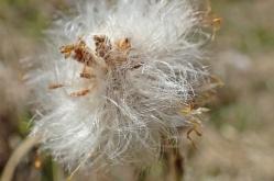 Tussilagon är överblommad ... bara den rufsiga frökalufsen är kvar, redo att låta sina frön flyga iväg...
