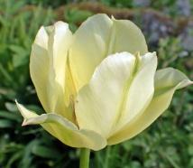 Tulpan, ljusgul med gröna ränder