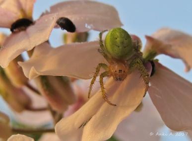Gurkspindeln är riktigt söt med alla sina ögon :)