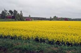 Vackra gula rapsfält lyste upp i gråvädret...