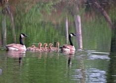 En familj med kanadagäss höll till här vid sjökanten...