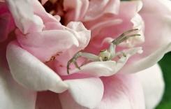 Då såg jag den lilla krabbspindeln ... visserligen en spindel i miniformat och väldigt söt, men en spindel i näsan vill jag ju inte ha!