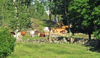 jag får en nästan uråldrig känsla med djuren och stengärdsgården...