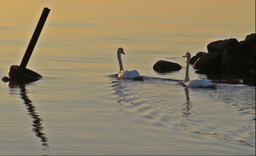 Simtur i soluppgången ... mysigt med sällskap...