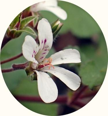 Pelargonium australe (har inte hittat något svenskt namn på den)...