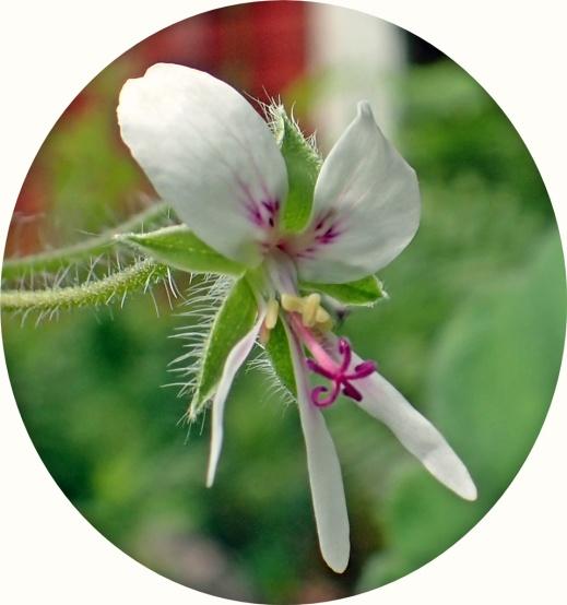 ... och P. tomentosum, som ibland kallas pepparmyntspelargon...