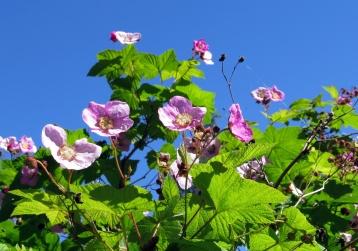 Rosenhallon, en vacker buske som tar mycket plats...