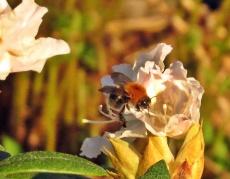 Väcker både blommor och humlor en tidig sommarmorgon...