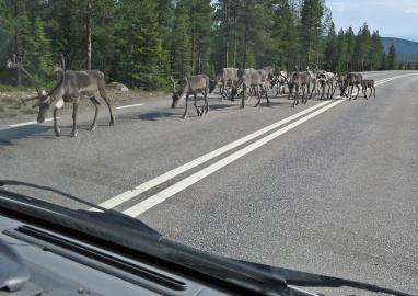 Strax norr om Sorsele såg de första renarna ...