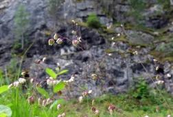 Darrgräs - som små dansande hjärtan växer på flera ställen i det kalkrika området.
