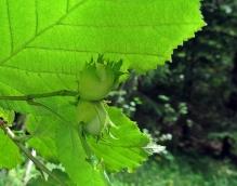 Många hasselbuskar såg jag, men inte så många nötter.