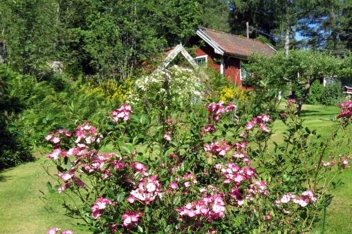 Den blomvilliga rosen som inte har något namn, men som blommar ända fram till det blir rejäla frostnätter...