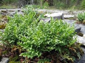 ... liksom den lilla murrutan, också det en liten ormbunke, som är sällsynt utom på Öland och Gotland ... och här :)