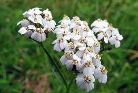 Rölleka, vild blomma som trivs i trädgården