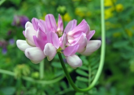 Rosenkronill, från början odlad, men finns även förvildad... sprider sig gärna den också