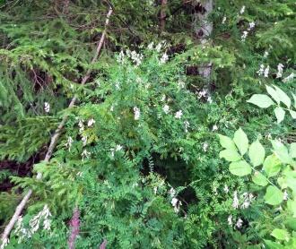 Skogsvickern klänger högt.