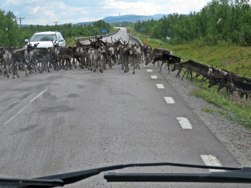 Den vita bilen tutade som en galning på renarna ... och jag tror nästan han puffade lite på dem med bilen ...