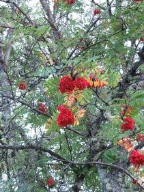 Tänk vilken skillnad ... en vecka tidigare såg vi blommande rönn vid Abisko - och här är rönnbären nästan helt mogna!