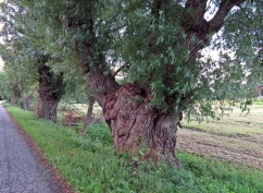 ... med de gamla pilträden...