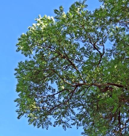 Stora parbladiga löv - vackra mot den blå himlen.