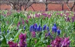 När klosterliljorna börjar vara överblommade blommar här istället ett hav av hålnunneört och pärlhyacinter.